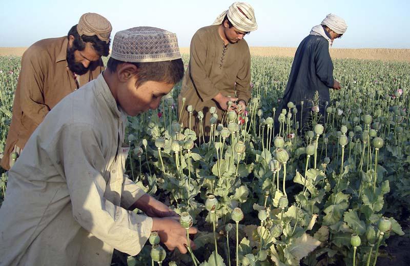 Сбор опиумного мака в Пакистане